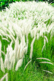 White mexican grass field in the windy. Royalty Free Stock Photography