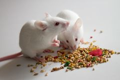 White mice eating bird seed on empty table. Together Royalty Free Stock Photography