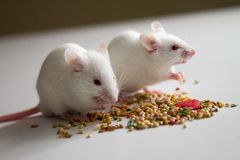 White mice eating bird seed on empty table. Together royalty free stock photo