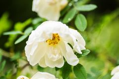 White midsummer rose, closeup on flower. White midsummer rose after rain in finnish countryside. This rose has a citrus fragrance and blooms in the Midsummer day Royalty Free Stock Image
