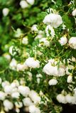 White midsummer rose, closeup on flower Royalty Free Stock Photos