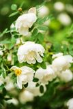 White midsummer rose, closeup on flower. White midsummer rose after rain in finnish park. This rose has a citrus fragrance and blooms in the Midsummer day Royalty Free Stock Photo