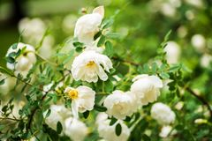 White midsummer rose, closeup on flowers Stock Images