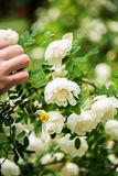White midsummer rose. After rain in finnish countryside. This rose has a citrus fragrance and blooms in the Midsummer day Stock Photo