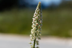 White mignonette Reseda alba. Flower of a white mignonette Reseda alba Stock Images
