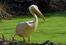 White migratory pelican bird Stock Photography