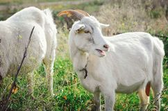 White milk goat with horns grazing royalty free stock photos