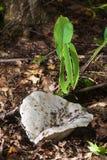 White milk mushroom. Milk-agaric in dry forest Royalty Free Stock Image