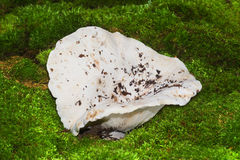 White milk mushroom. Milk-agaric in dry forest Royalty Free Stock Photography
