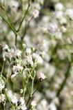 White million star flowers Stock Photography