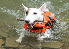 White mini bull terrier swimming with a stick Royalty Free Stock Image