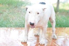 White Mini Bullterrier. A Funny White Smiley Bullterrier Enjoy Playing Water In The Garden Stock Photos