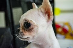 White mini chihuahua royalty free stock image