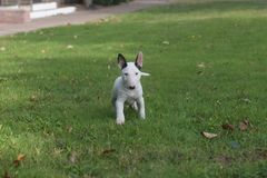 White miniature bull terrier puppy posing royalty free stock photos