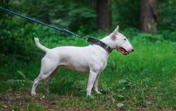 White miniature bull terrier in summer. White miniature bull terrier on a background of green grass in summer Stock Images
