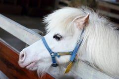White miniature horse head. White miniature horse on farm Royalty Free Stock Photo
