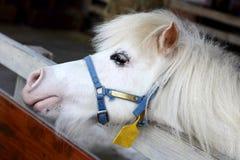 White miniature horse. Head on farm Stock Images
