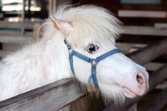 White miniature horse head Stock Photo
