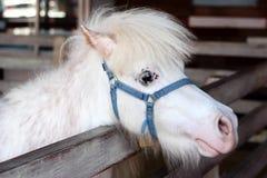 White miniature horse head. On farm Stock Photo