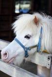 White miniature horse head. On farm Stock Photography
