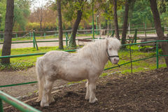 White  miniature horse. Outdoors Stock Images