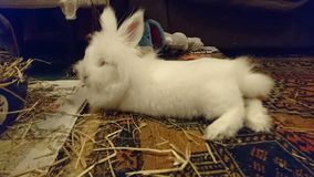 White miniature Lion head/Netherland cross rabbit. White long haird miniature Lion head/Netherland cross rabbit lounging on his rug at the end of an active day Royalty Free Stock Images