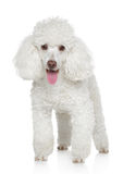 White Miniature poodle Royalty Free Stock Image