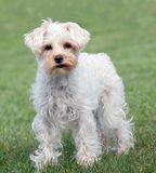 White Miniature Schnauzer Royalty Free Stock Photos