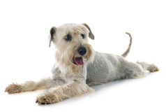 White miniature schnauzer Stock Photography