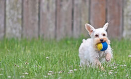 White Miniature Schnauzer Playing Fetch Stock Photography