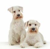 White miniature schnauzer puppies. Two white miniature schnauzer puppies royalty free stock image