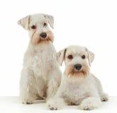 White miniature schnauzer puppies Royalty Free Stock Image