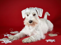 White miniature schnauzer puppy. And Christmas decorations on a red background Stock Photography