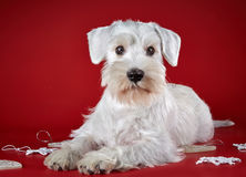 White miniature schnauzer puppy royalty free stock image