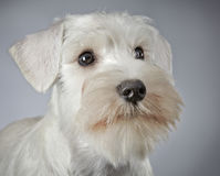 White miniature schnauzer puppy royalty free stock photos