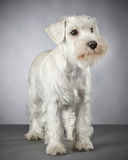 White miniature schnauzer puppy Stock Image