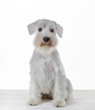 White miniature schnauzer puppy royalty free stock images