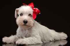 White miniature schnauzer puppy Stock Photos