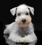 White miniature schnauzer puppy Stock Image