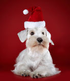 White miniature schnauzer puppy Royalty Free Stock Photo