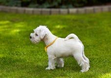 White miniature schnauzer puppy Royalty Free Stock Photography