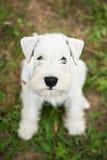 White Miniature Schnauzer puppy Stock Photos