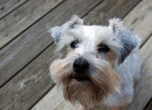 White miniature schnauzer puppy on a wooden deck. Close up image. Small white dog closeup. Pretty mini schnuauzer puppy sitting on a deck outside. With copy Royalty Free Stock Photography