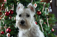 White miniature schnauzer sitting in front of green Christmas tr. Happy New Year. Merry Christmas. Cute white dog sitting by decorated Christmas tree. Pretty Stock Photography