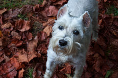 White miniature schnauzer standing on autumn leaves in outdoor setting. Royalty Free Stock Photography