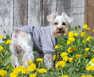 White Miniature Schnauzer in Sweater Royalty Free Stock Photos