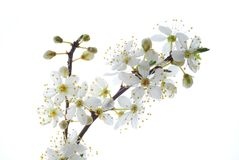 White mirabelle Royalty Free Stock Photo