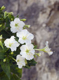 White mirabilis jalapa flowers close-up Stock Images