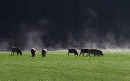 White mist beautiful green pasture and herd cows and black and mountain and sunshine Royalty Free Stock Photos