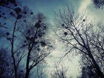 White mistletoe. Mistletoe balls on on branches of  trees Royalty Free Stock Photo